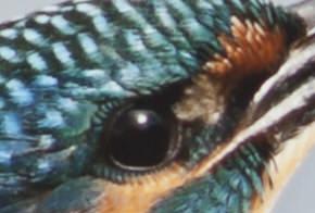 rawijsvogel