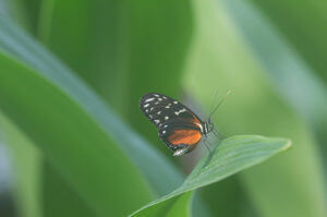 butterflysamplemini