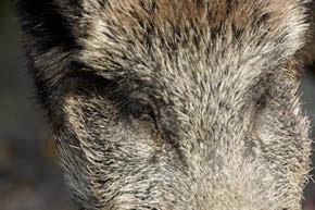 1000mm-boar
