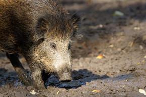 Wild-boar-mini