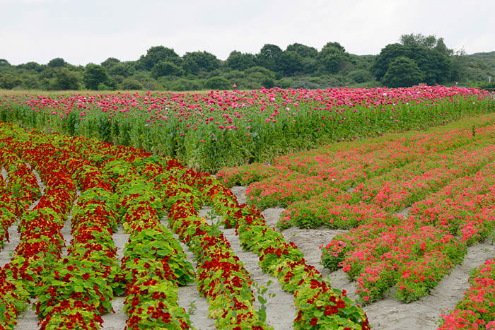 poppies-4